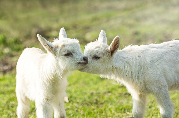A goat – treatment and spectrum of medicines